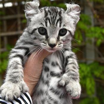 Gattino Savannah in vendita