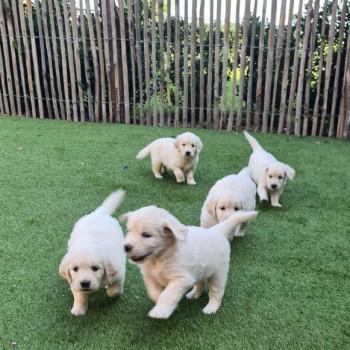 Cuccioli di Golden Retriever pronti per nuove case .