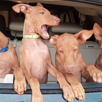 Splendidi cuccioli di Cirneco dell'Etna