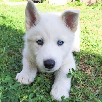 Cucciolo di Siberian Husky Bianco con Occhi Blu