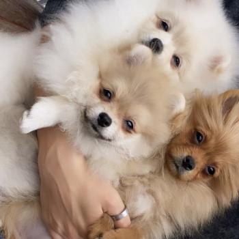 Vendiamo le cucciole della pura razza Volpino di Pomerania nanno