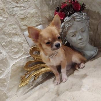 Chihuahua cucciolo disponibile